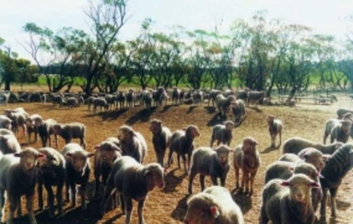 Potential export breach involving Australian sheep surfaces