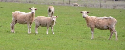 Lamb and mutton price hikes cap a remarkable year