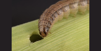 Alert issued for destructive crop pest