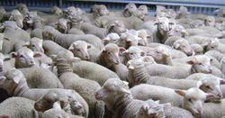 New lamb definition expected by July