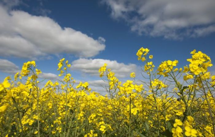 Australian researchers turn up the heat on sclerotinia