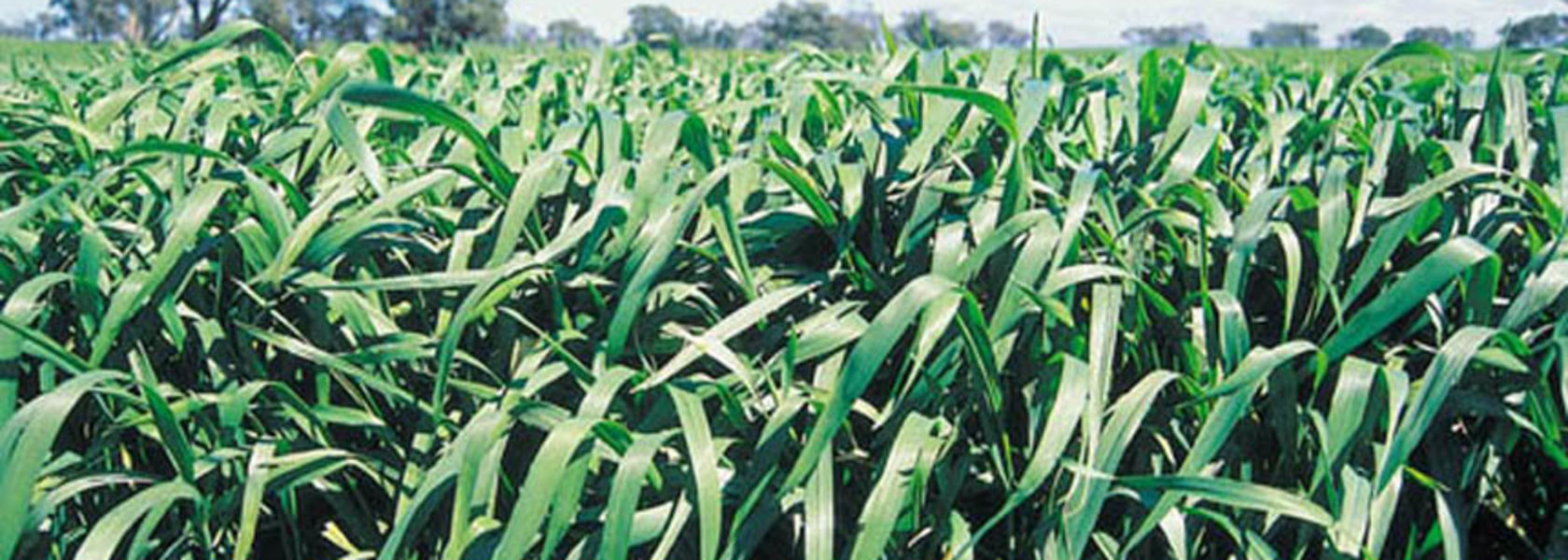 Coal-derived fertiliser boosts crops