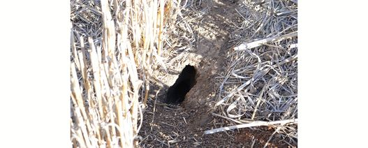 Growers urged to minimise potential feed sources for mice