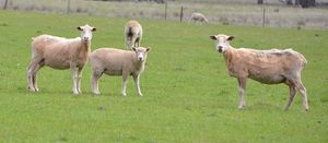 More certainty in sheep and lamb markets