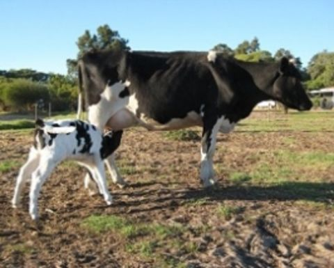 Reaping the benefits of AI in dairy cattle